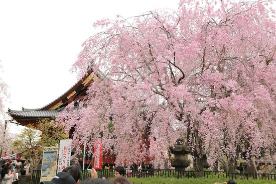 Ueno Park : 清水観音堂と桜
