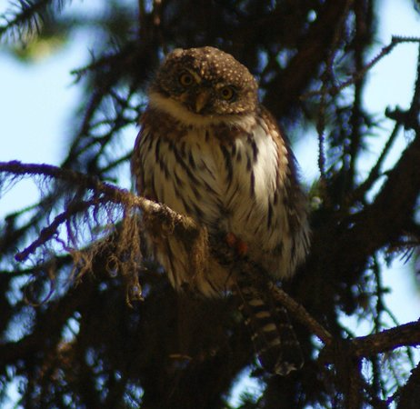 Lake Agnes Teahouse: Northern Pygmy-Owl along the way
