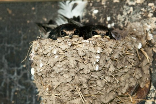 Kelleys Island State Park : Young Swallows to help with Mosquitoes