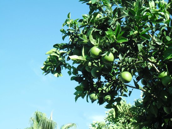 SENTIDO Blue Sea Beach : Our own lemon tree right in front of the terrace