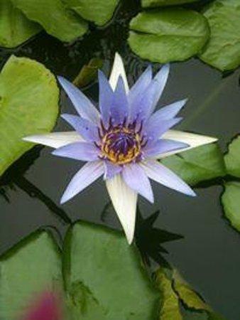 Imperial Boat House Beach Resort: fiore di loto