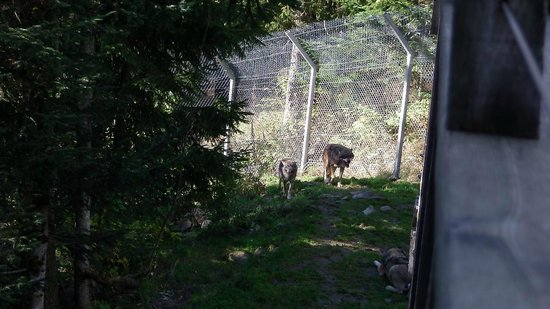 Parc Alpha : 2 loups