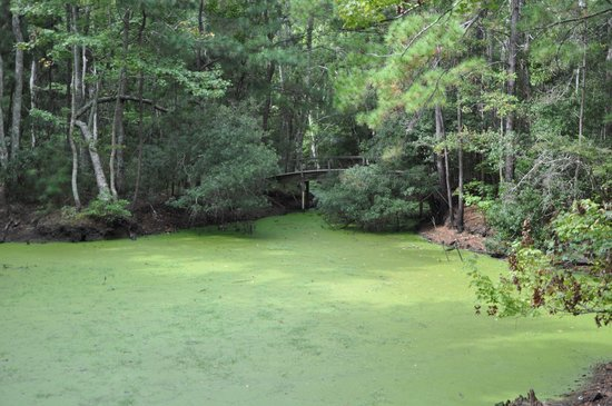 Nags Head Woods Ecological Preserve: bright green swamp