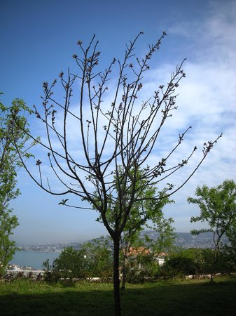 Almond Blooms Guest House: Almond tree in Guesthouse garden