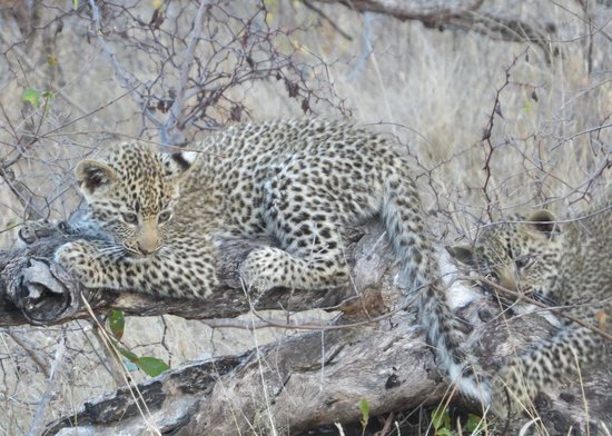 Londolozi Private Game Reserve: leopard cubs