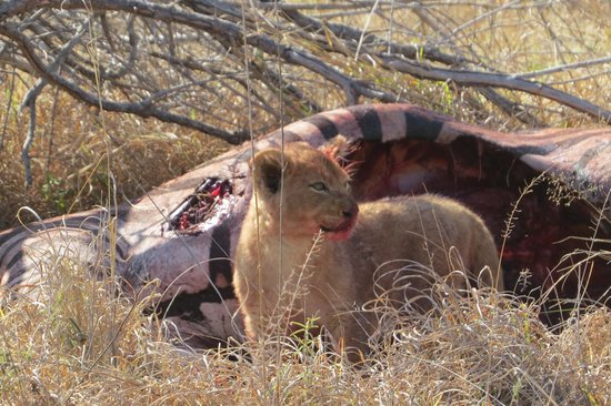 Londolozi Private Game Reserve: lion cubs