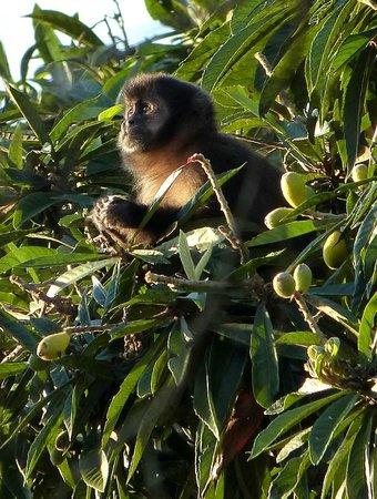 Hotel Do Ype : Horned capuchin monkey.