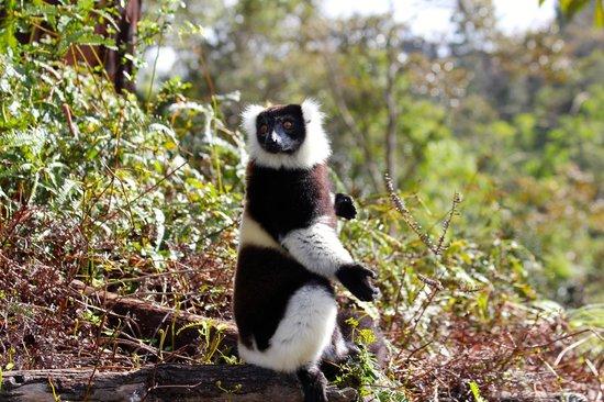 Madagascar Exotic: Black and white ruffed lemur sunbathing