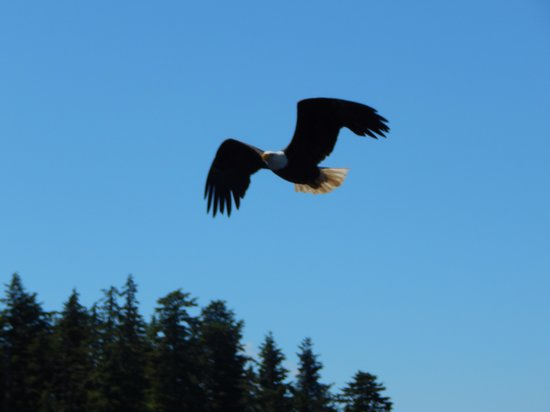 Bering Sea Crab Fishermen's Tour: One of the many Bald Eagles we saw on the tour
