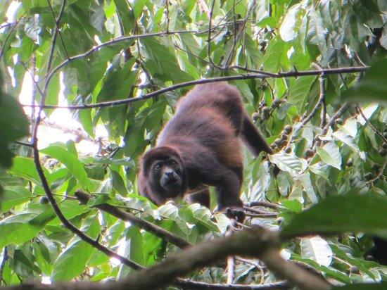Encanta La Vida: Howler monkey