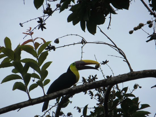 Encanta La Vida: Toucan in front of Ranchito cabina