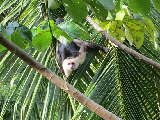 Encanta La Vida: White-face capuchin seen in front of the casona cabina