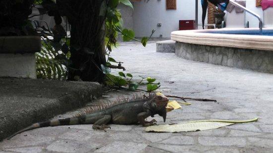 Encanta La Vida: Poolside iguana
