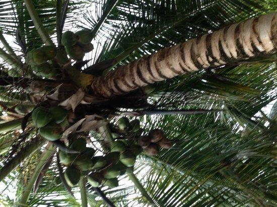 Hamanasi Adventure and Dive Resort : Beach coconut trees