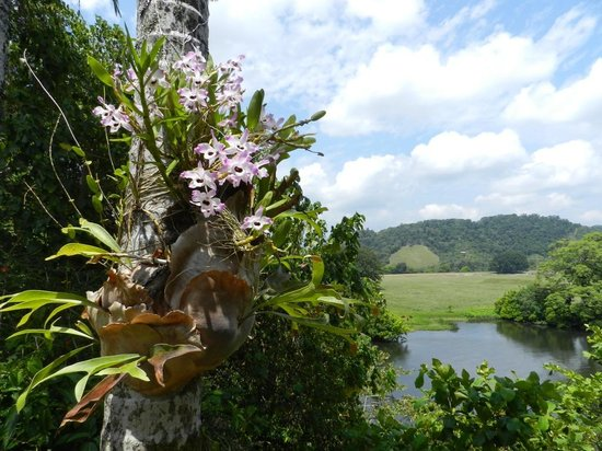 Daintree Village Bed and Breakfast: Wild orchids growing on the trees with the stunning view