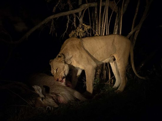 Sabi Sabi Little Bush Camp : Lion with a kill