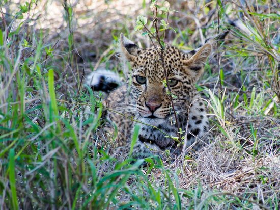 Sabi Sabi Little Bush Camp : Leopard cub