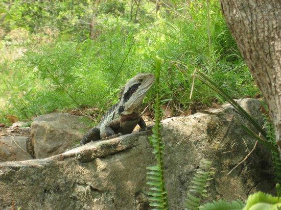 Bradleys Head Trail: Bluetongue lizard