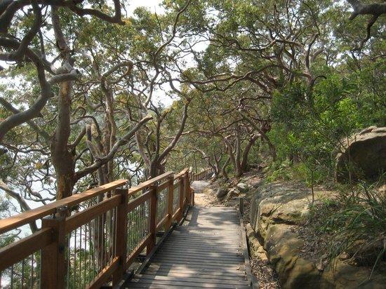 Bradleys Head Trail: Sydney red gums