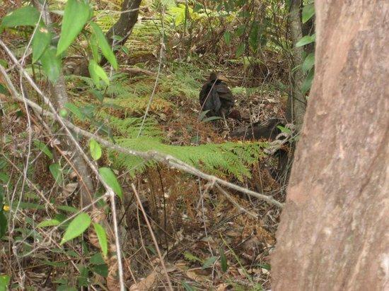 Bradleys Head Trail: Scrub turkeys