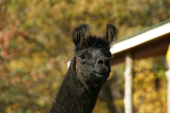 Buttermilk Falls Inn & Spa: llama
