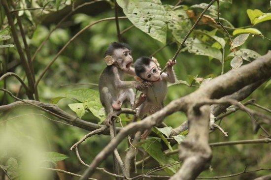 Nature Lodge Kinabatangan: Playful baby macaques
