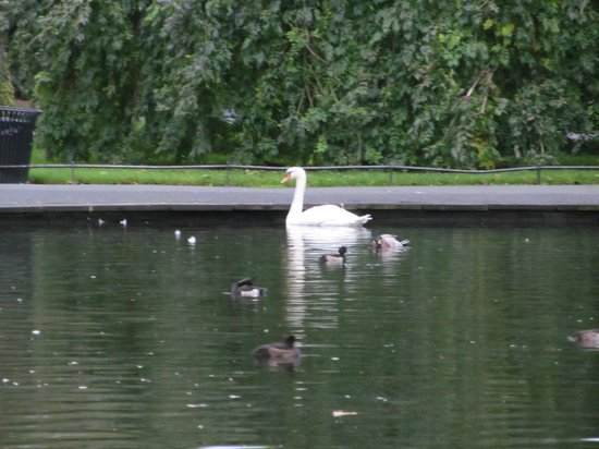Fitzwilliam Hotel Dublin: Swan on a pond at St. Stephen's Green