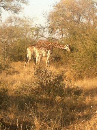 nThambo Tree Camp : giraffe