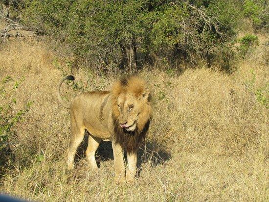nThambo Tree Camp: male lion