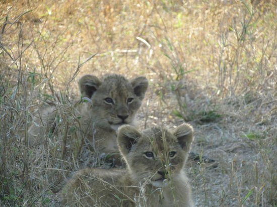 nThambo Tree Camp : lion cubs on our game drive