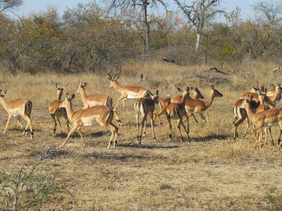 nThambo Tree Camp: impala