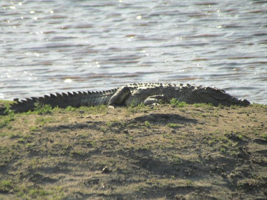 nThambo Tree Camp : crocodile that lives in a pond in the reserve