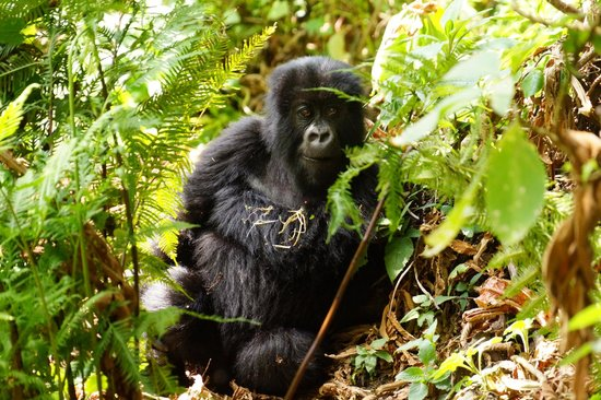 Sabyinyo Silverback Lodge: what an experience