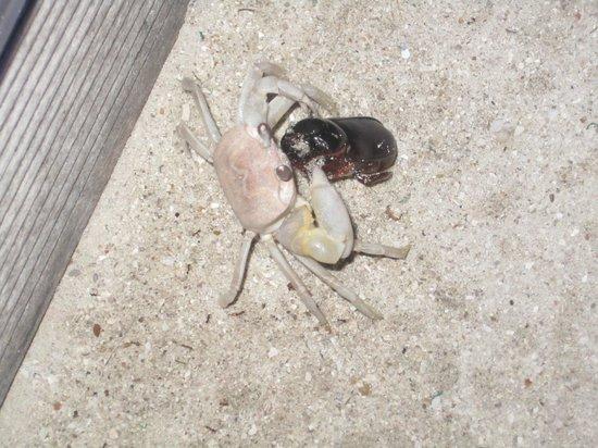 Kuredu Island Resort & Spa : crabe VS scarabée