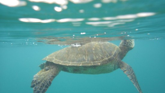 Napili Point Resort: We saw several turtles in the bay.