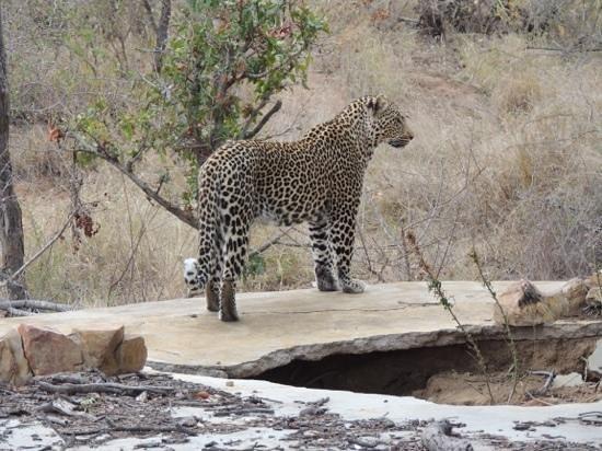 Motswari Private Game Reserve: a real cool cat!