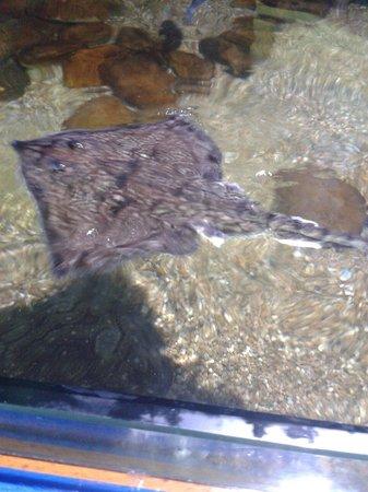 Sea Life Blackpool : Sting ray