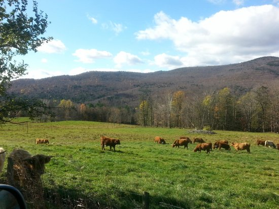 Trapp Family Lodge: Cows in a near by pasture