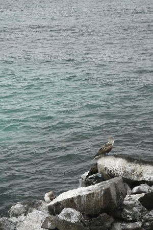 Puerto Chino Beach: Blue-footed boobies on the rocky cliff