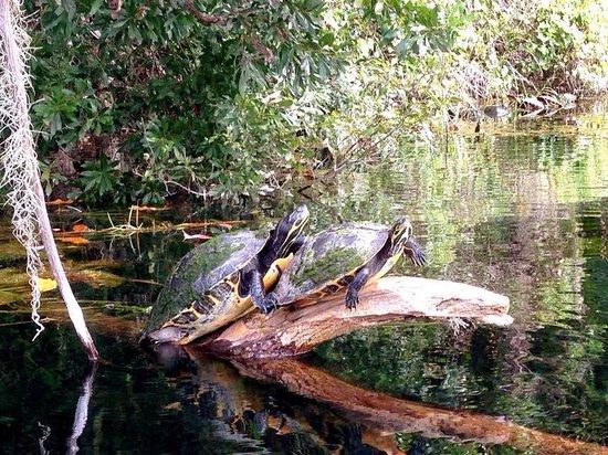 Rainbow River Kayak Adventures: Slider turtles on the rainbow river