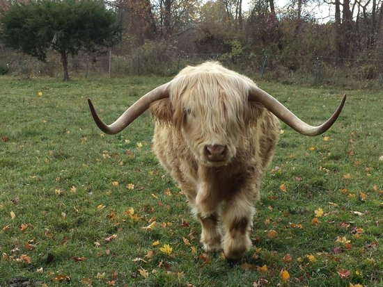 Brookfield Farm Bed & Breakfast: Scottish HIghland cow