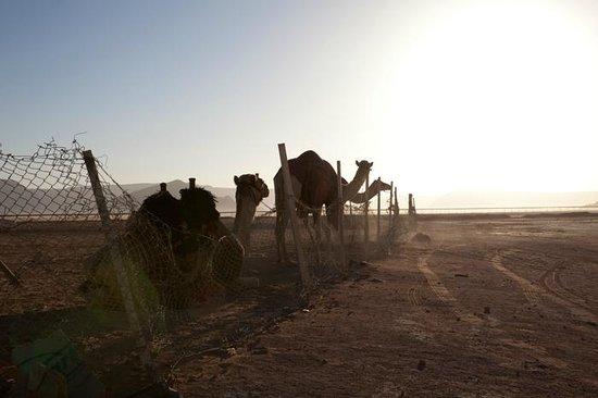 Jordan Tracks : Camel Race Training