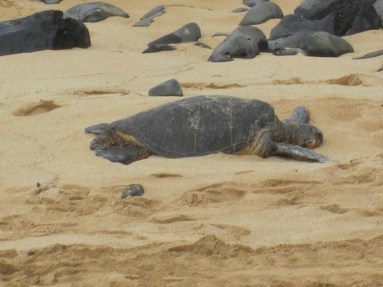 Ho'okipa Beach Park: Turtle on the beach