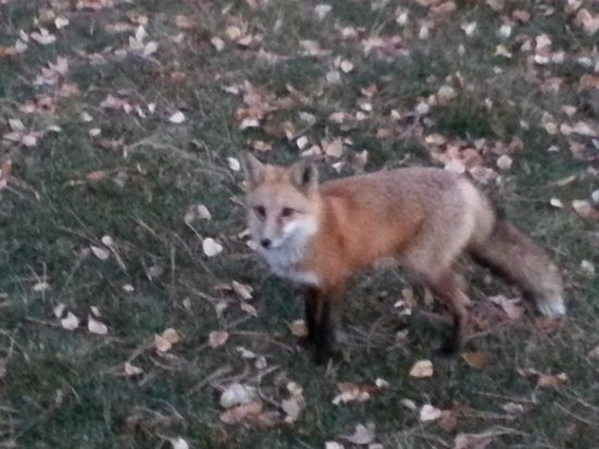 McGregor Mountain Lodge: little fox came mornings...
