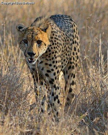 Pungwe Safari Camp : Cheetahs