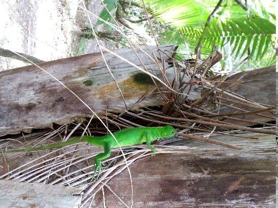 Lapa Rios Ecolodge Osa Peninsula : beautiful green iguana