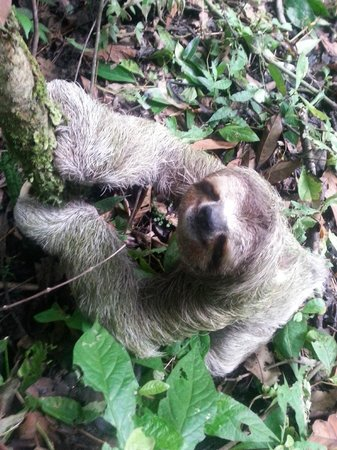 Lapa Rios Ecolodge Osa Peninsula: If you're lucky, you'll see a sloth! Usually a sighting once or twice a week. This guy was adora