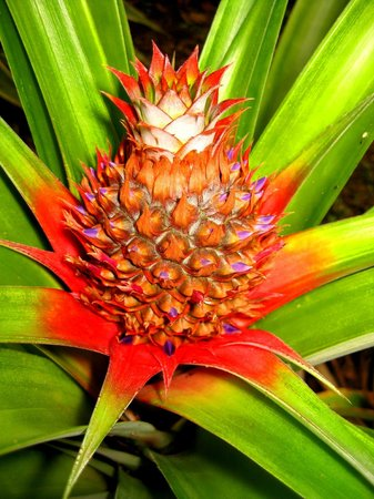 Aroha Taveuni: Pineapple in the garden