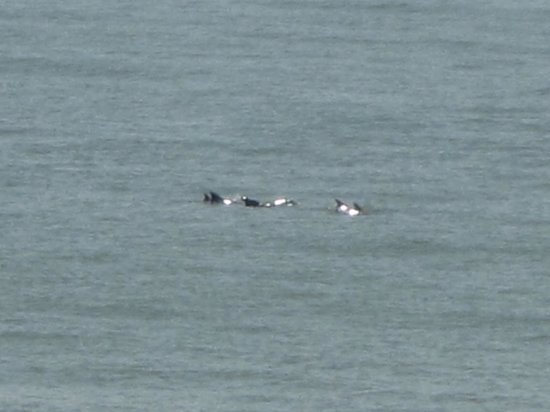 Golden Sands: Dolphins passing by
