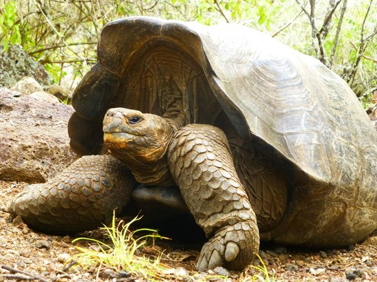 Galapaguera de Cerro Colorado: Giant tortoises at peace in this well maintained area
